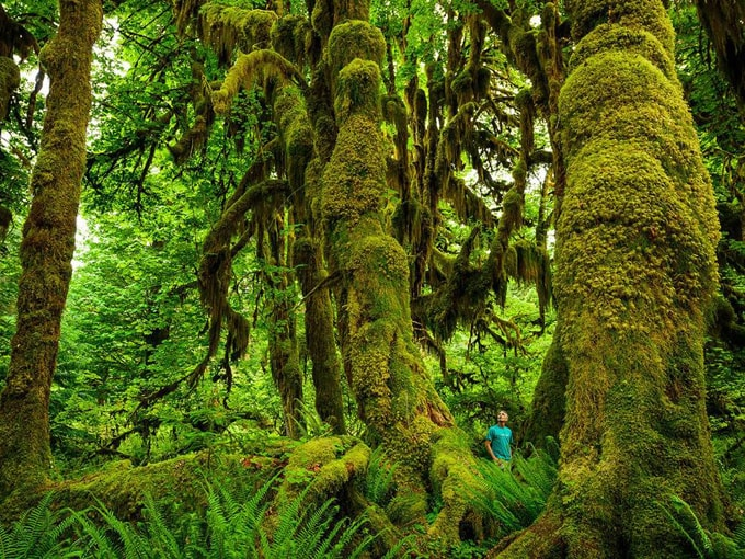 hoh forest-min